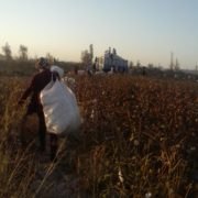 Cotton harvest in Karakalpakstan © UGF 2016
