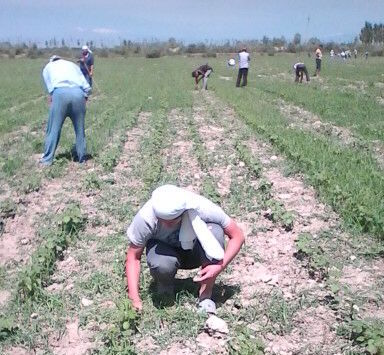 In Uzbekistan, forced labor is also used for weeding the cotton fields