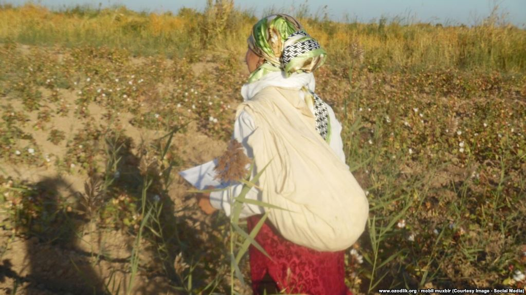 Resident of Uzbekistan picking of cotton. Source: Ozodlik
