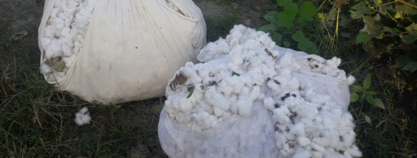 Collected cotton © UGF